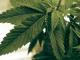 Aurora Cannabis US entity