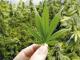 cannabis legalization grows stocks