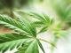 Marijuana legalization benefiting stocks