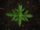 Medical Marijuana as an Opioid Alternative